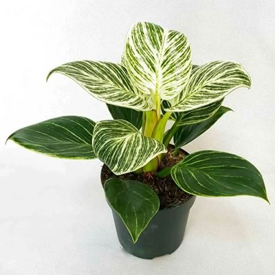 Palo Verde Organik - Philodendron other white